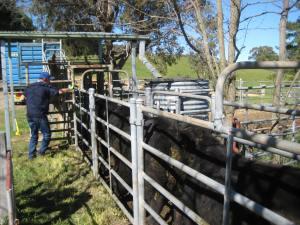 loading the weaner calves